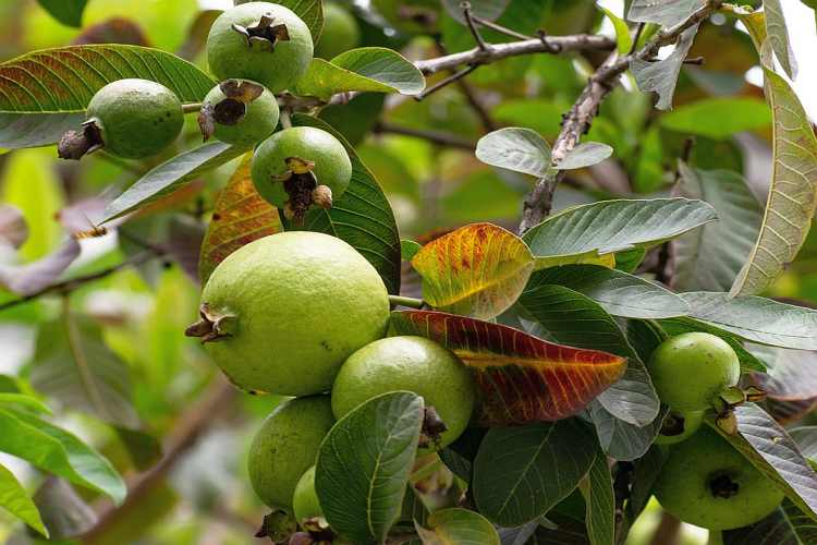 Guava Tree | Fruit, Juice, Benefits and All Details
