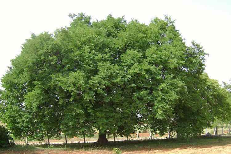 Tamarind | All about Tree, Paste, Water, Fruit