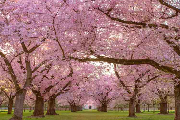 Cherry Blossom Tree | Flower, Fruit and All Details|
