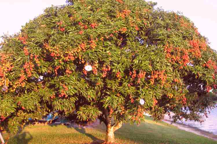 Lychee Tree | Litchi Tree | Lychee Fruit | All Information